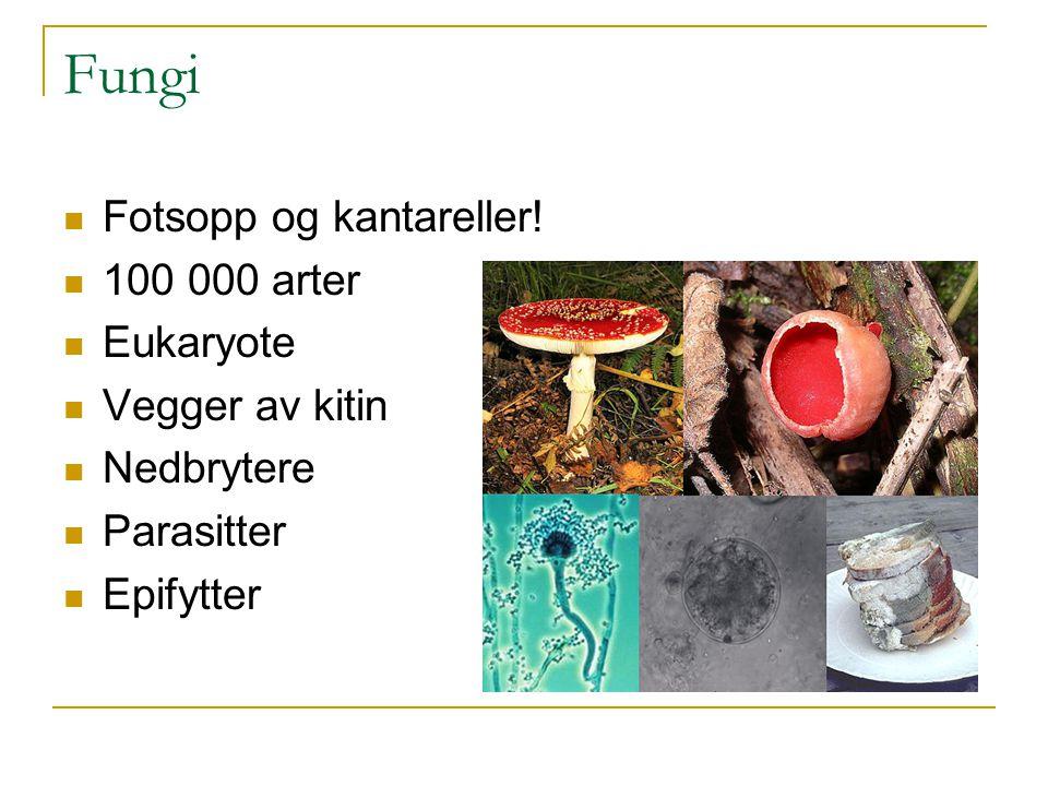 Fungi Fotsopp og kantareller! 100 000 arter Eukaryote Vegger av kitin
