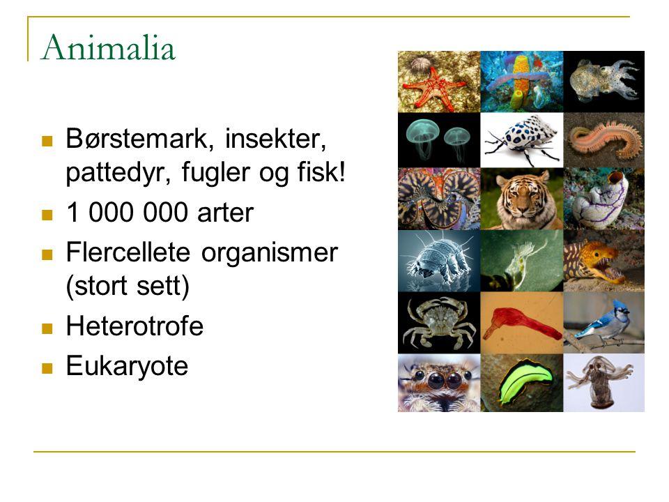 Animalia Børstemark, insekter, pattedyr, fugler og fisk!