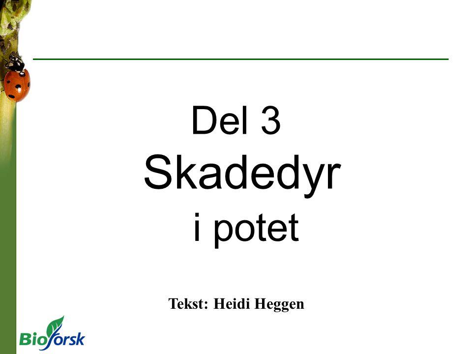 Del 3 Skadedyr i potet Tekst: Heidi Heggen