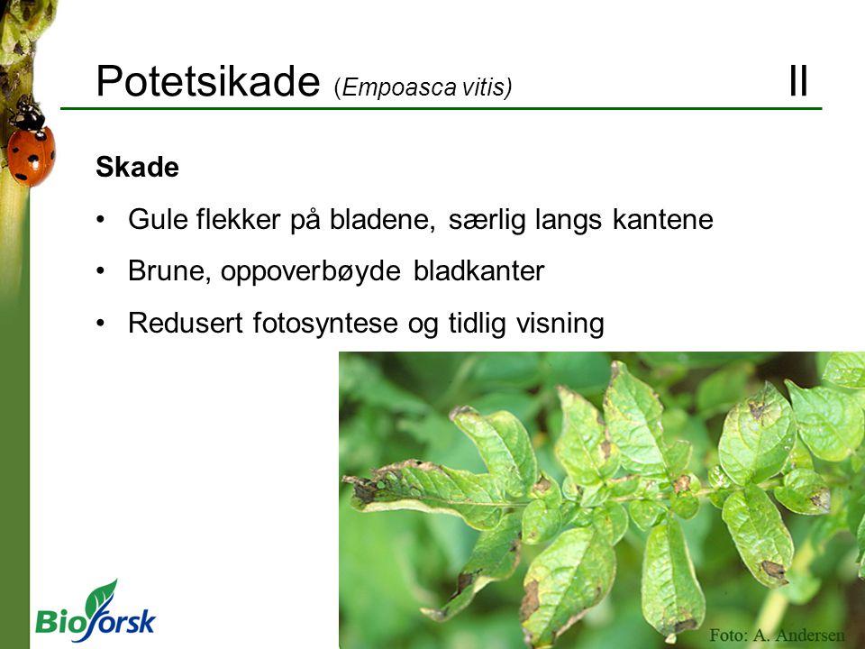 Potetsikade (Empoasca vitis) II