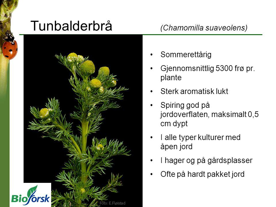 Tunbalderbrå (Chamomilla suaveolens)