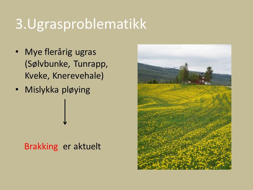 3.Ugrasproblematikk Mye flerårig ugras (Sølvbunke, Tunrapp, Kveke, Knerevehale) Mislykka pløying.