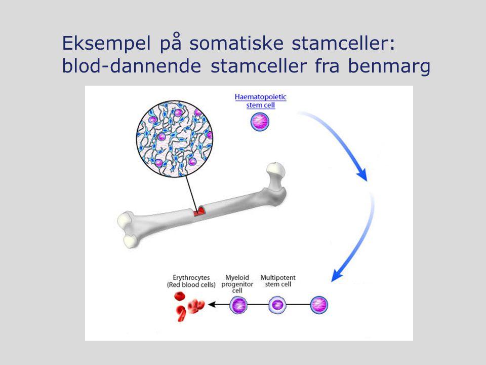 Eksempel på somatiske stamceller: