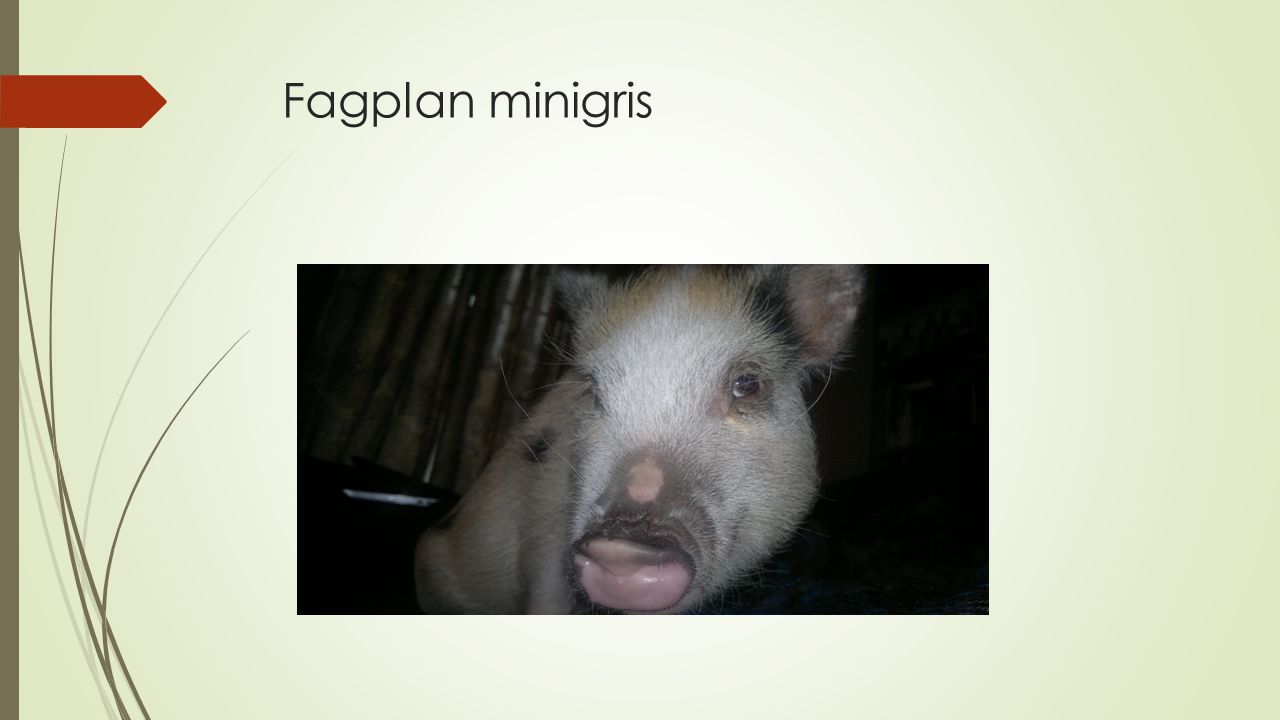 Fagplan minigris
