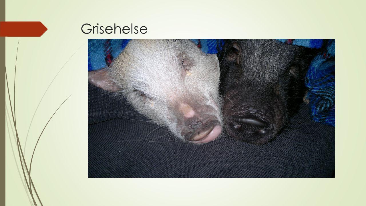 Grisehelse
