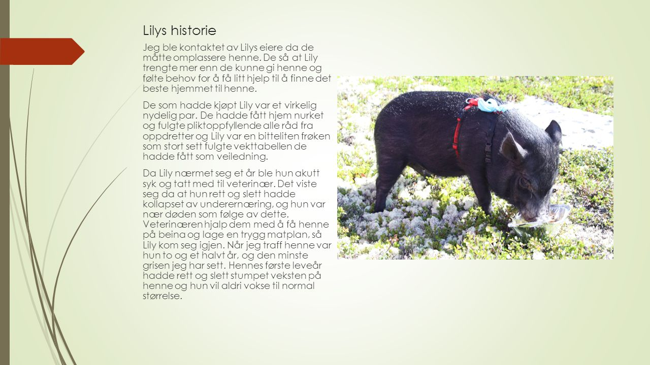 Lilys historie