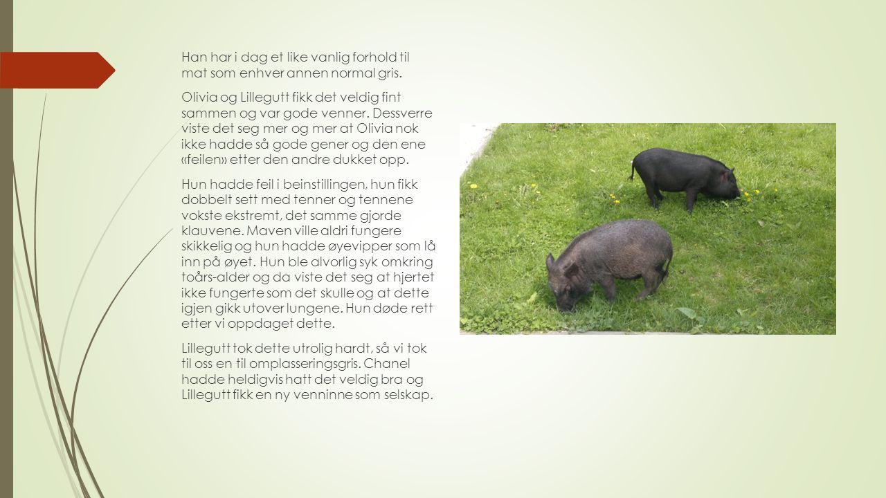 Han har i dag et like vanlig forhold til mat som enhver annen normal gris.