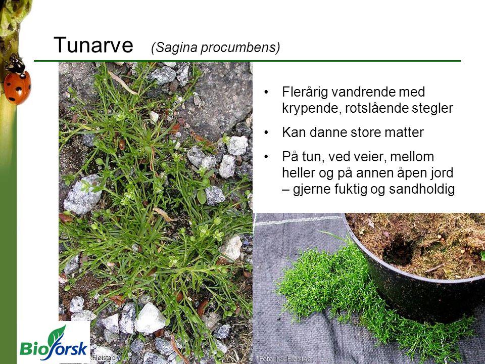Tunarve (Sagina procumbens)
