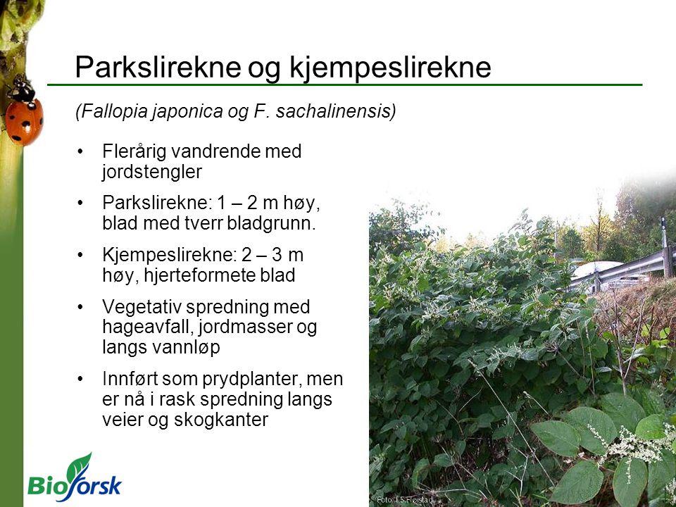 Parkslirekne og kjempeslirekne (Fallopia japonica og F. sachalinensis)