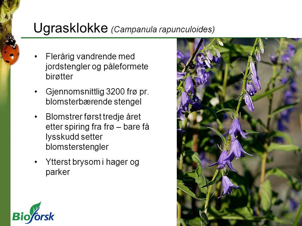 Ugrasklokke (Campanula rapunculoides)