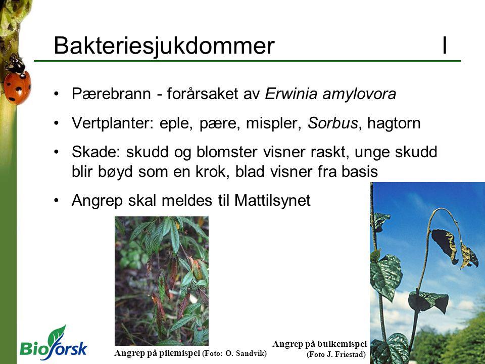 Bakteriesjukdommer I Pærebrann - forårsaket av Erwinia amylovora
