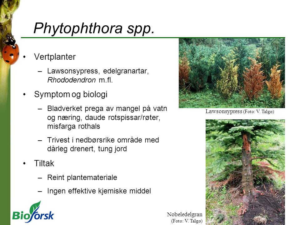 Phytophthora spp. Vertplanter Symptom og biologi Tiltak
