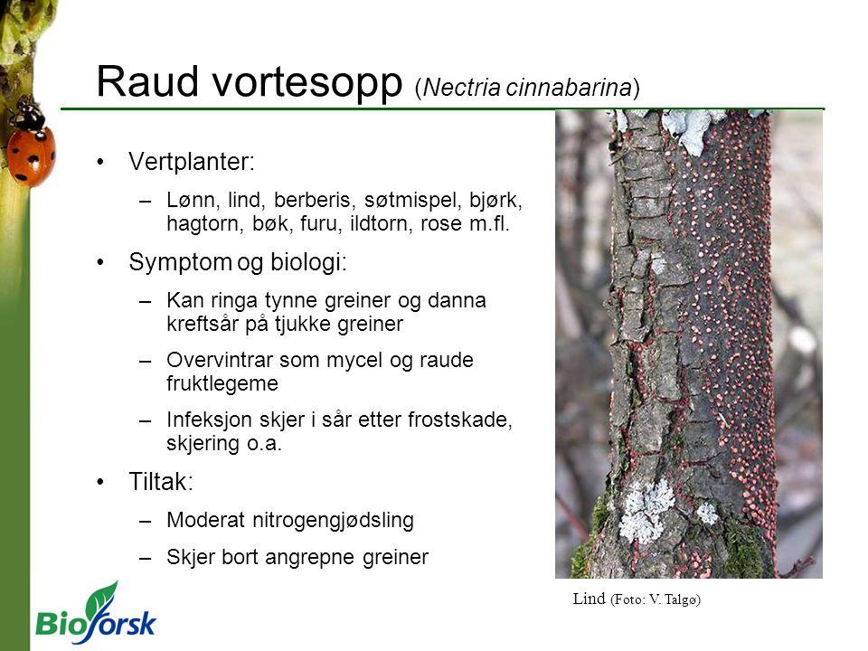 Raud vortesopp (Nectria cinnabarina)