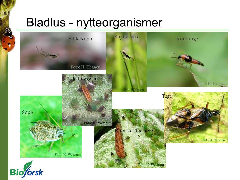 Bladlus - nytteorganismer