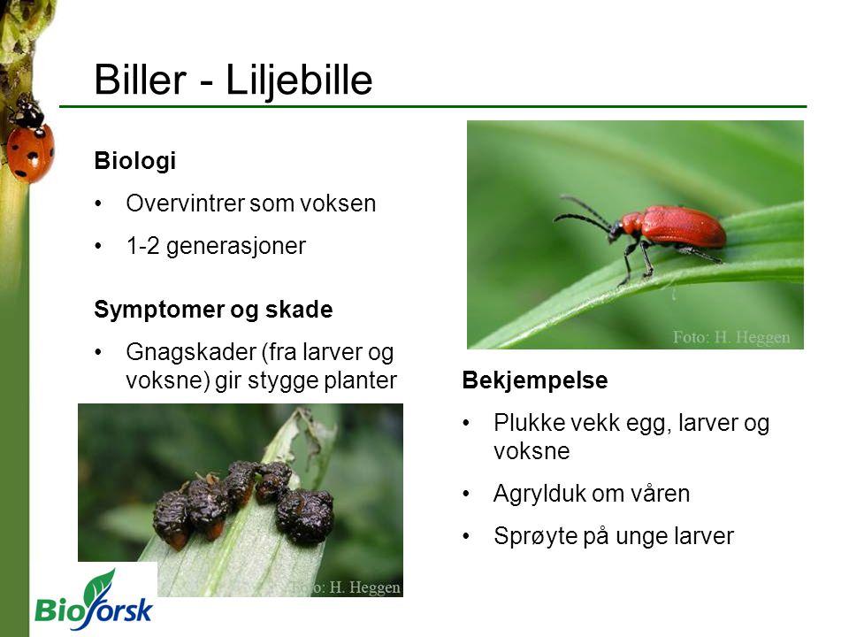 Biller - Liljebille Biologi Overvintrer som voksen 1-2 generasjoner