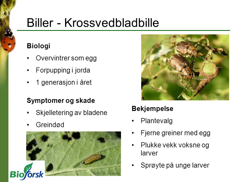 Biller - Krossvedbladbille