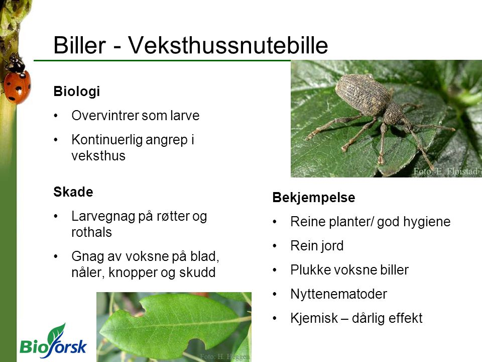 Biller - Veksthussnutebille