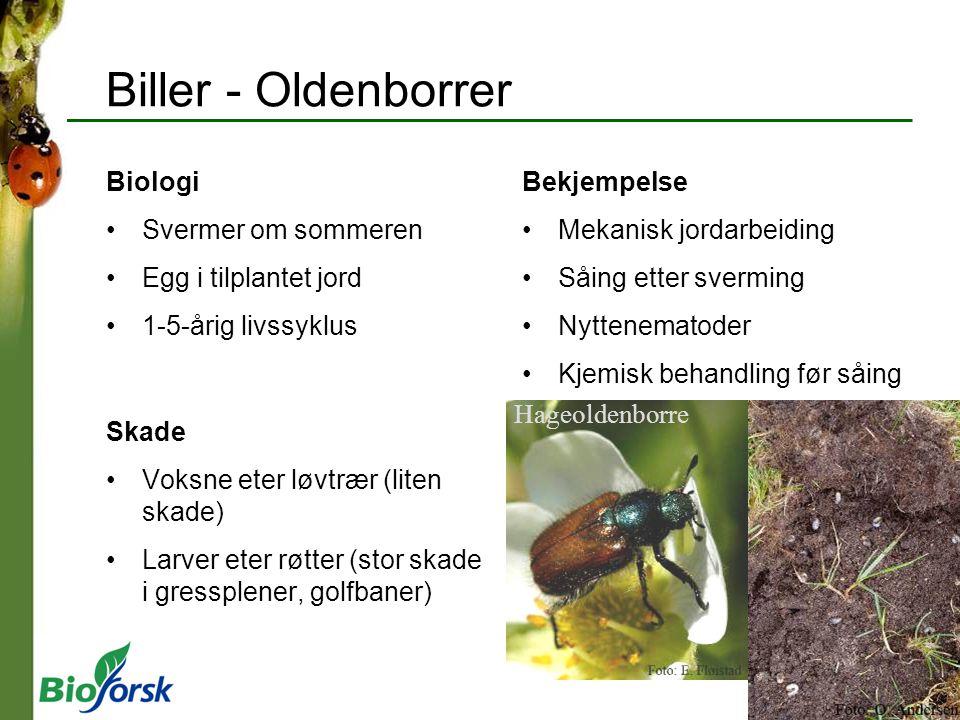 Biller - Oldenborrer Biologi Svermer om sommeren Egg i tilplantet jord