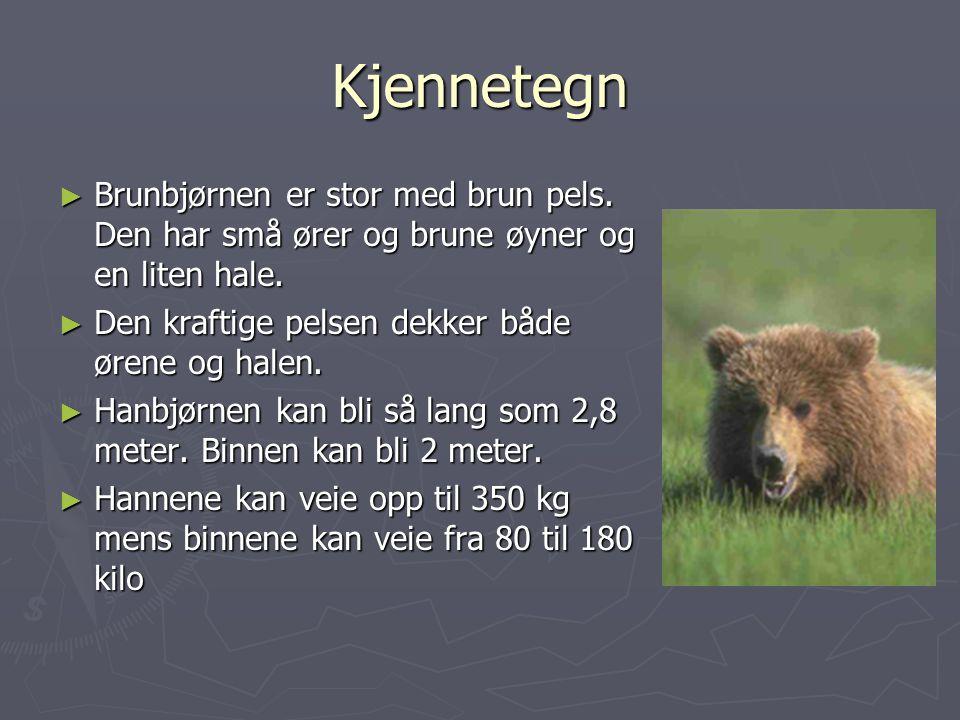 Kjennetegn Brunbjørnen er stor med brun pels. Den har små ører og brune øyner og en liten hale. Den kraftige pelsen dekker både ørene og halen.