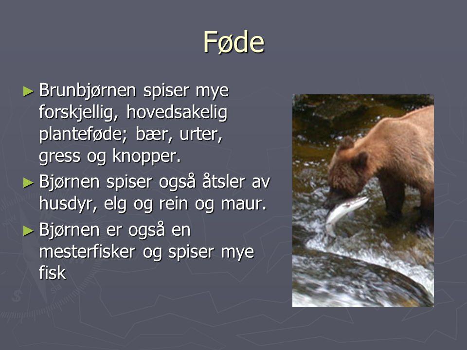 Føde Brunbjørnen spiser mye forskjellig, hovedsakelig planteføde; bær, urter, gress og knopper.