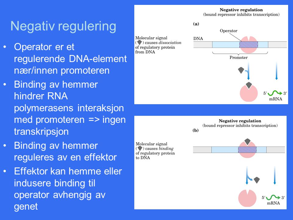 Negativ regulering Operator er et regulerende DNA-element nær/innen promoteren.