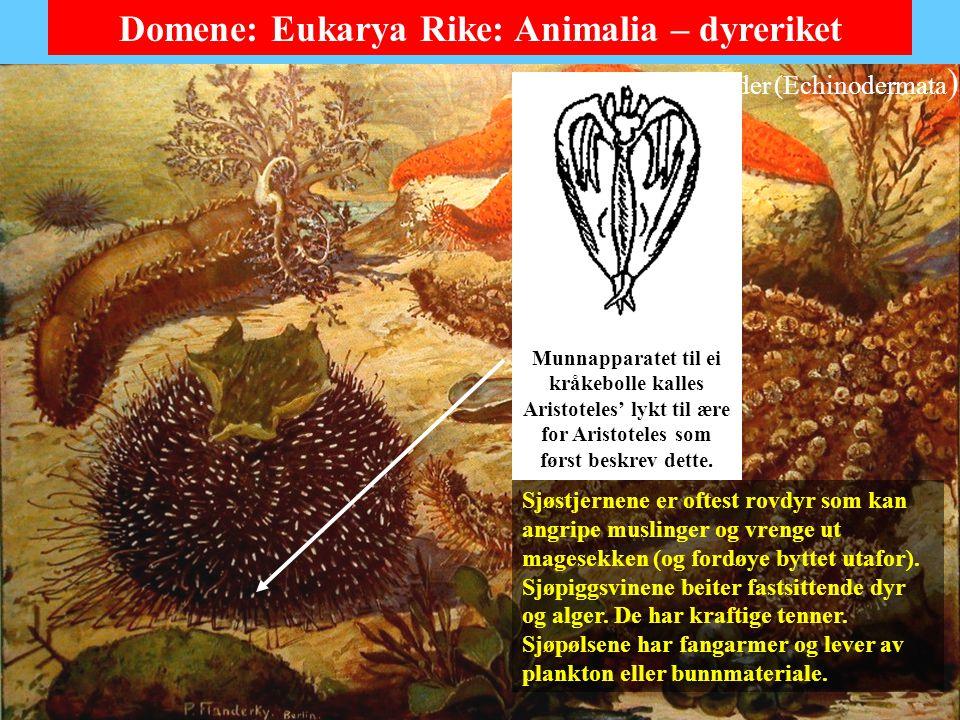 Pigghuder (Echinodermata)
