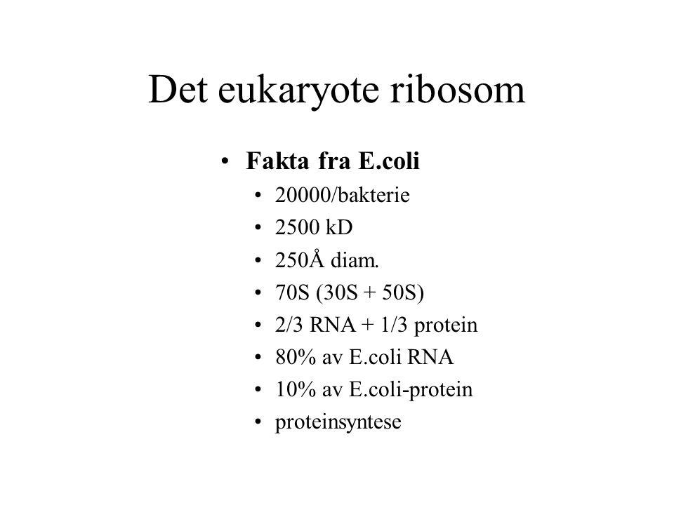Det eukaryote ribosom Fakta fra E.coli 20000/bakterie 2500 kD