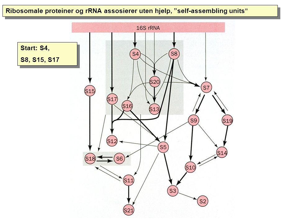 Ribosomale proteiner og rRNA assosierer uten hjelp, self-assembling units