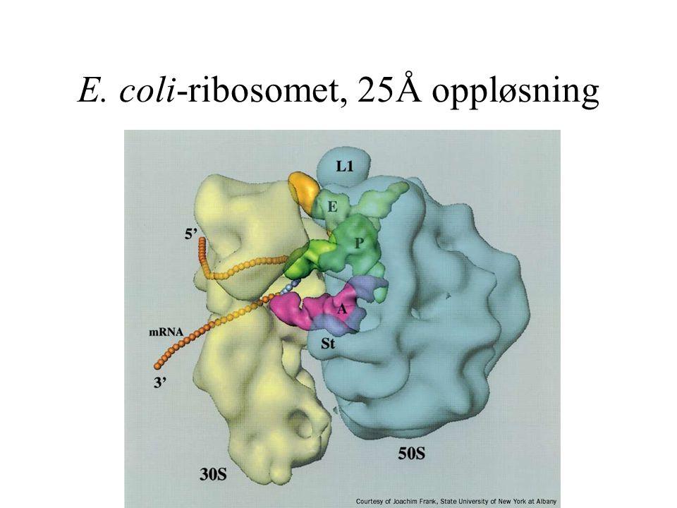 E. coli-ribosomet, 25Å oppløsning