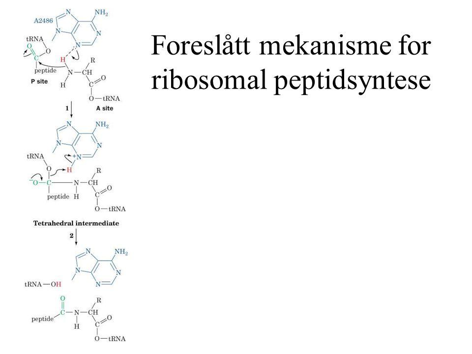 Foreslått mekanisme for ribosomal peptidsyntese