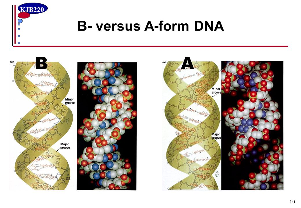 B- versus A-form DNA B A