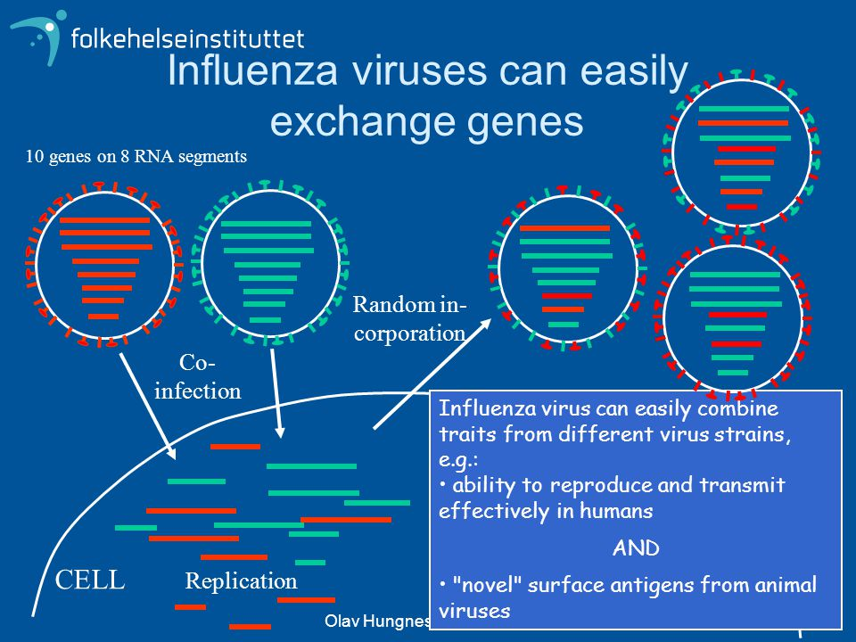 Influenza viruses can easily exchange genes