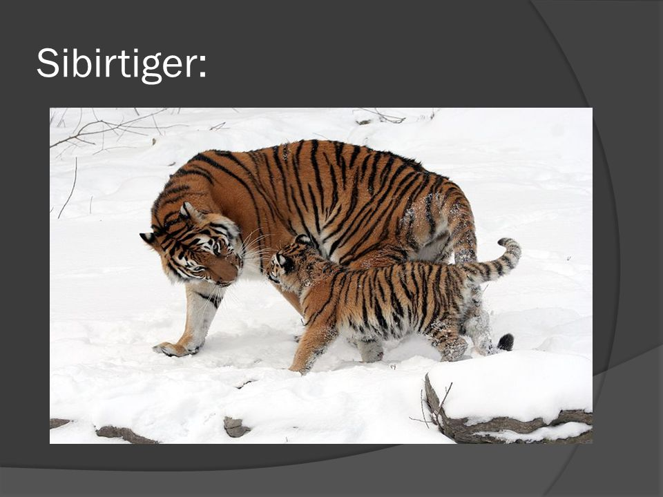 Sibirtiger: