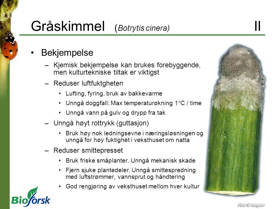Gråskimmel (Botrytis cinera) II