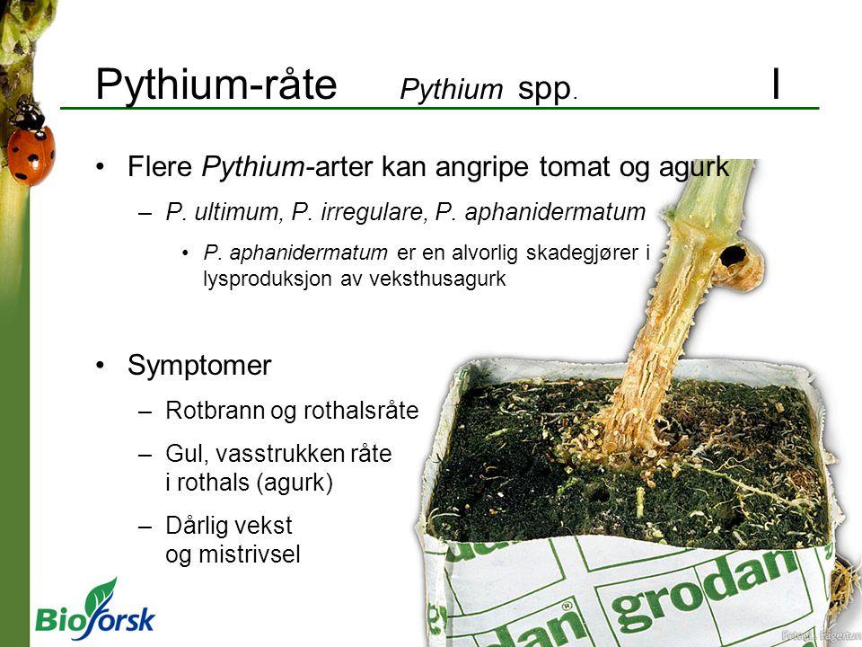 Pythium-råte Pythium spp. I