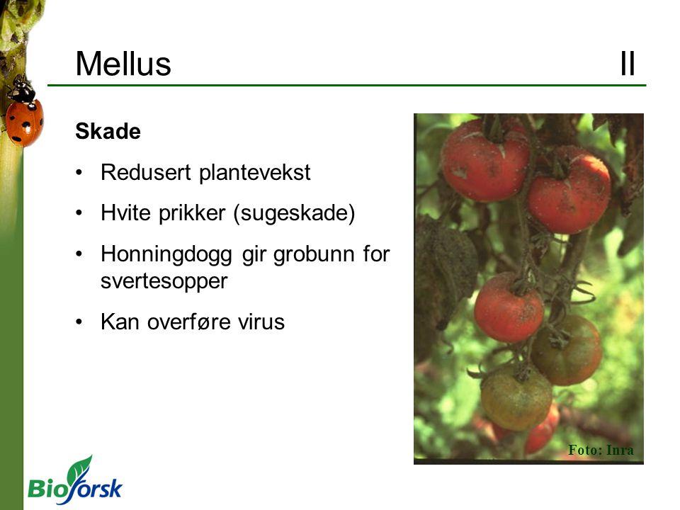 Mellus II Skade Redusert plantevekst Hvite prikker (sugeskade)