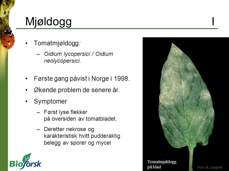 Mjøldogg I Tomatmjøldogg: Første gang påvist i Norge i 1998.
