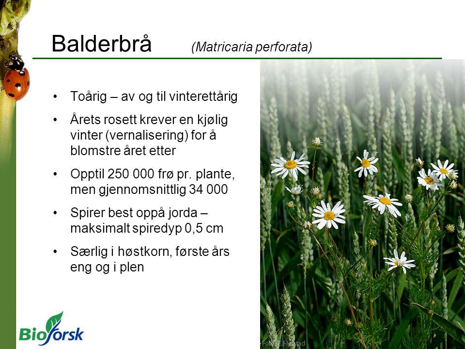 Balderbrå (Matricaria perforata)
