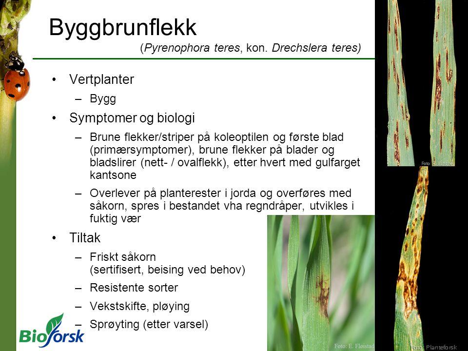 Byggbrunflekk (Pyrenophora teres, kon. Drechslera teres)