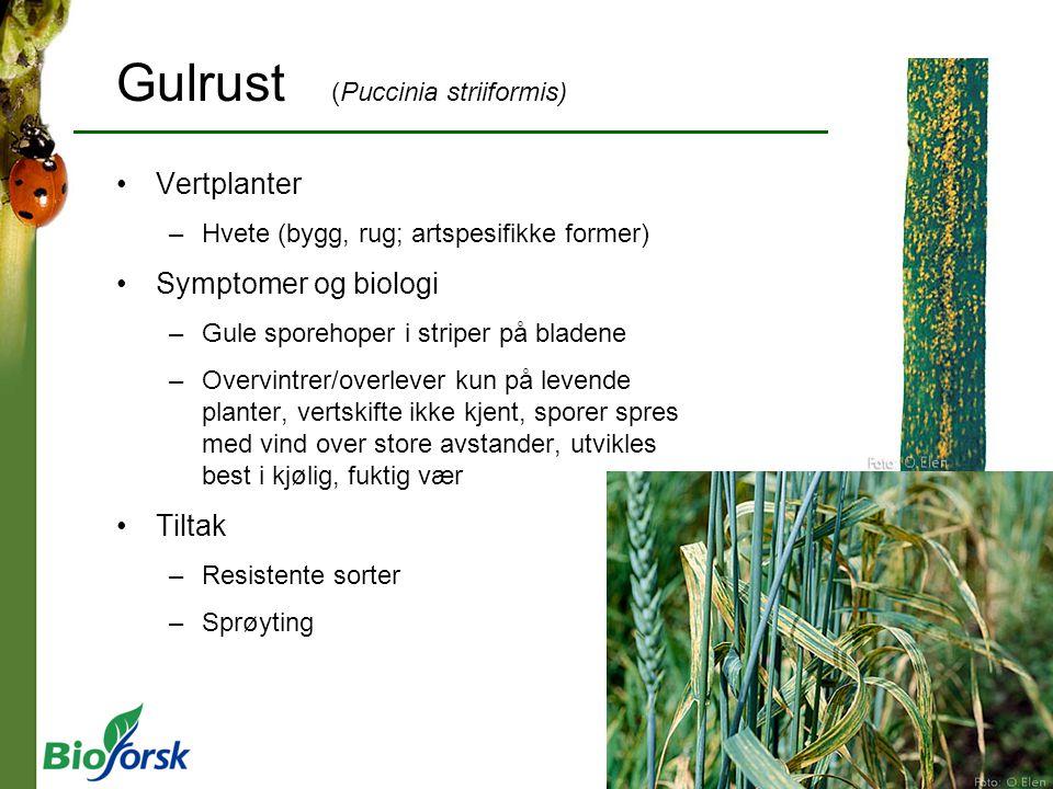 Gulrust (Puccinia striiformis)