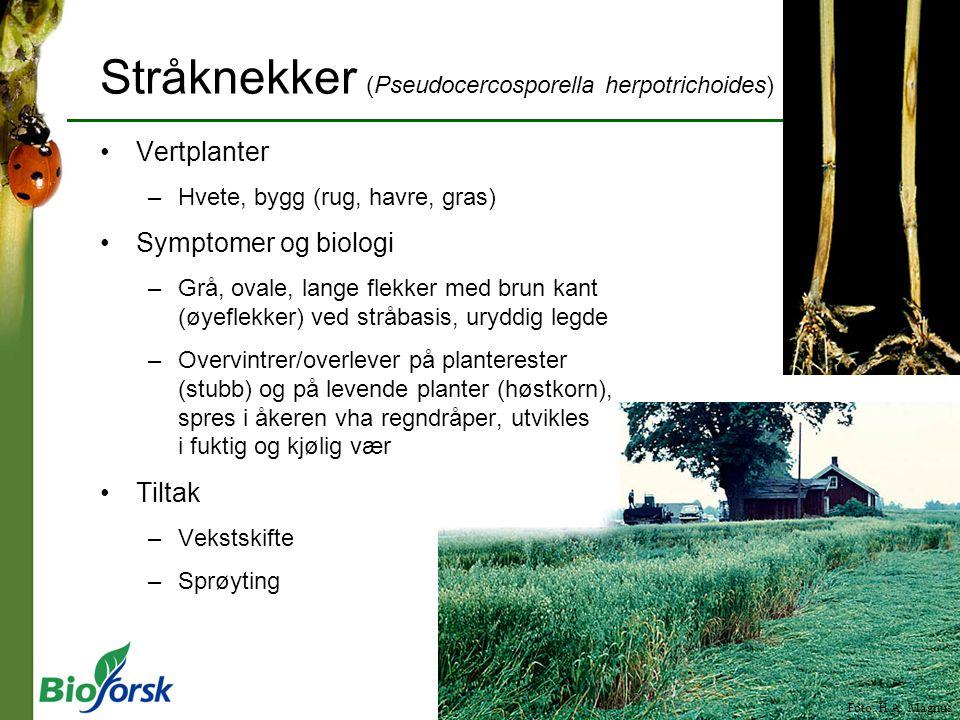 Stråknekker (Pseudocercosporella herpotrichoides)