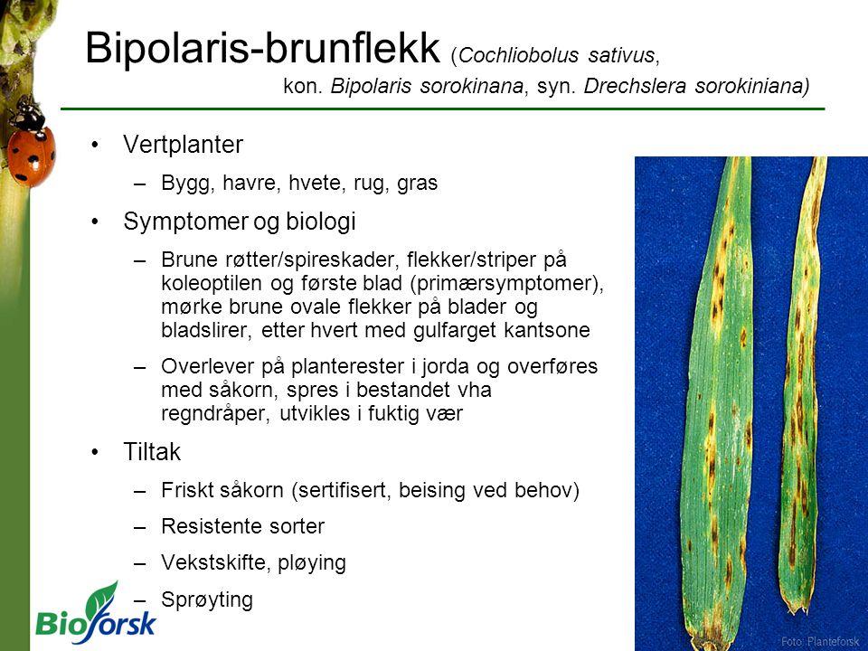 Bipolaris-brunflekk (Cochliobolus sativus, kon