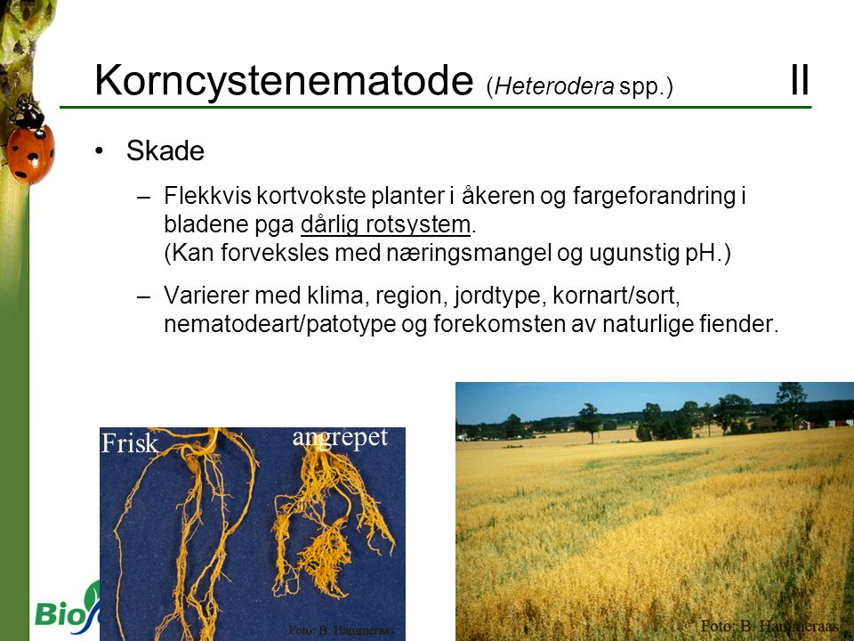 Korncystenematode (Heterodera spp.) II