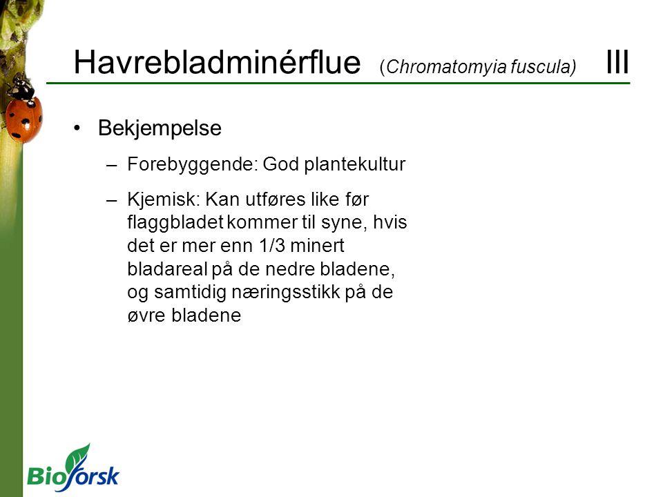 Havrebladminérflue (Chromatomyia fuscula) III