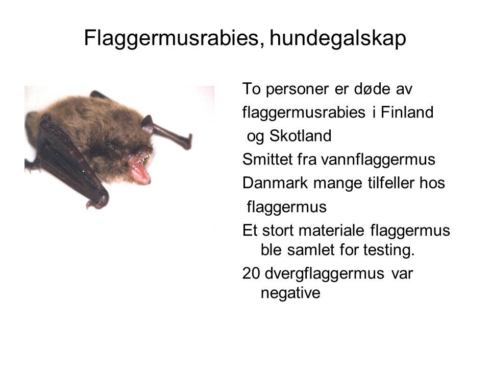 Flaggermusrabies, hundegalskap
