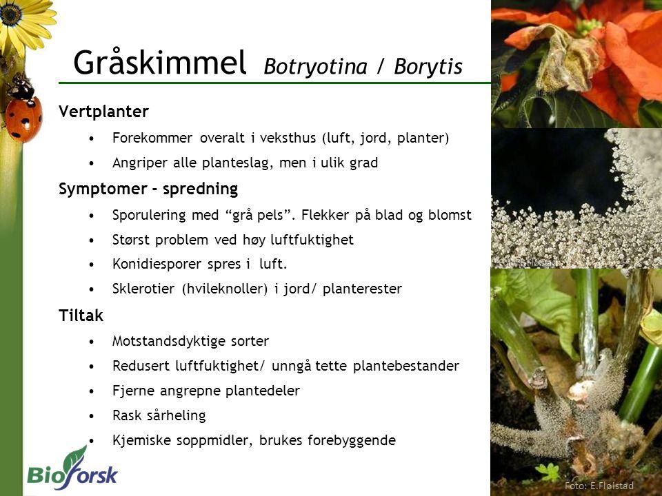 Gråskimmel Botryotina / Borytis