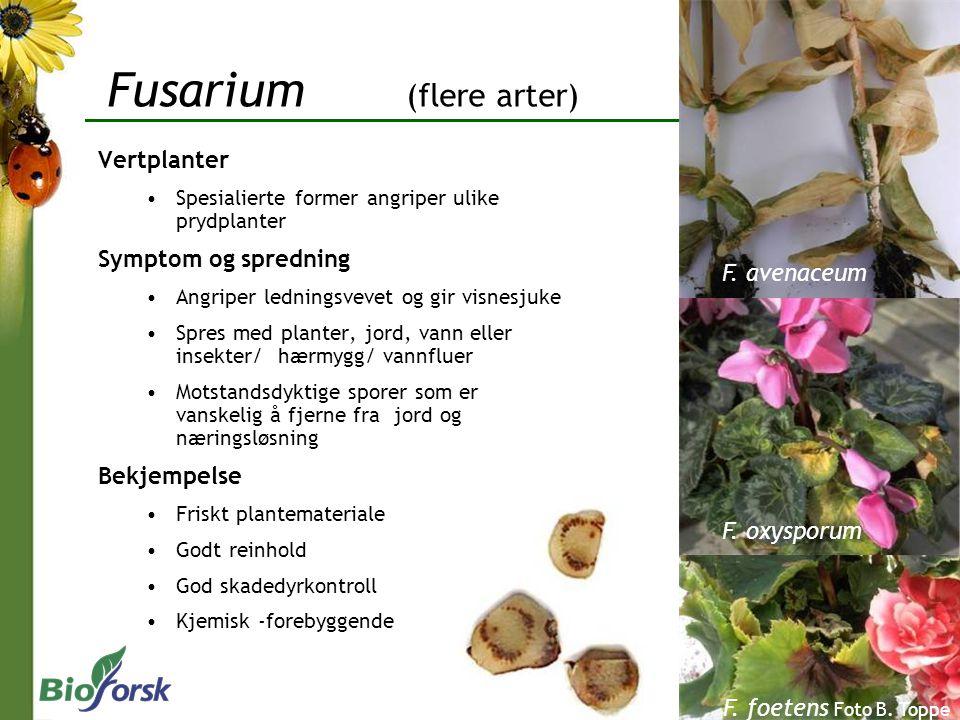 Fusarium (flere arter)