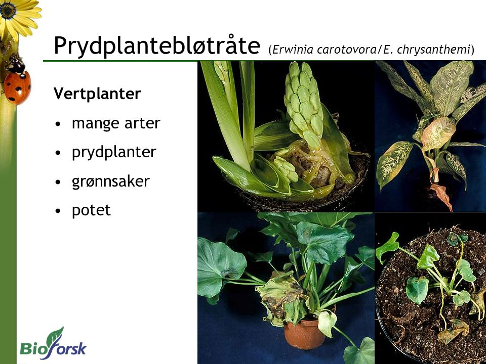 Prydplantebløtråte (Erwinia carotovora/E. chrysanthemi)