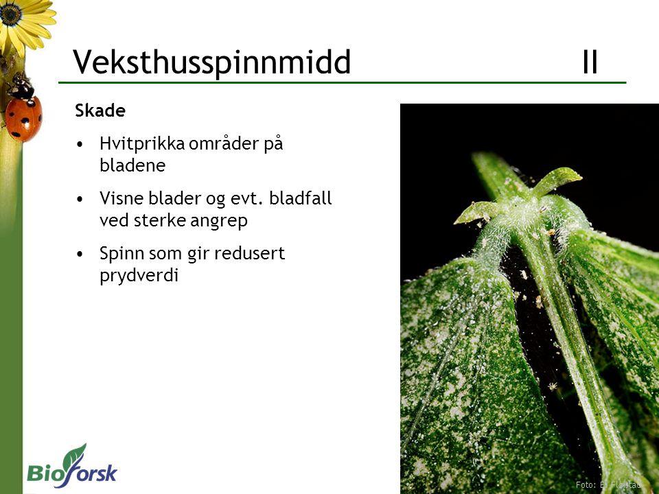 Veksthusspinnmidd II Skade Hvitprikka områder på bladene