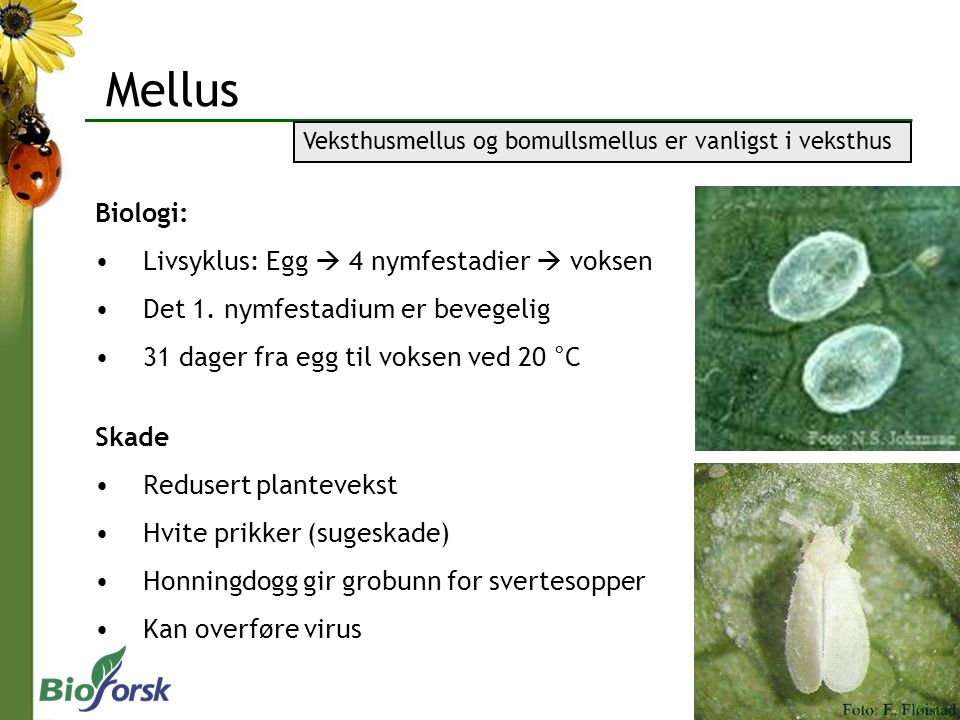 Mellus Biologi: Livsyklus: Egg  4 nymfestadier  voksen